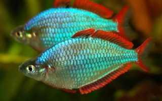 Рыбки радужницы содержание