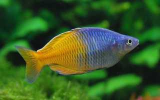 Рыбка радужница: содержание и уход, ее виды —неоновая, трехполосная и меланотения боэсмана