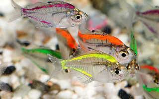 Фиолетовые рыбки аквариумные