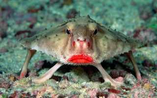 Рыба с губами фото