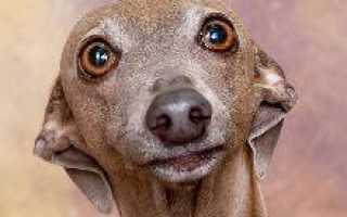 Описание породы собак Левретка с отзывами владельцев и фото