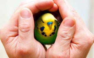 Как дать тетрациклин попугаю