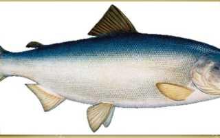 Кета рыба где ловят
