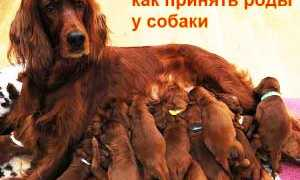Роды у собак: признаки, как принять роды