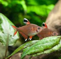 Орнатус рыбка фото