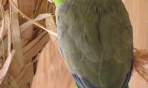 Воробьиный попугайчик лессона — уход и содержание
