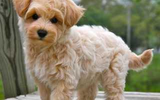 Собаки породы мальтипу мини
