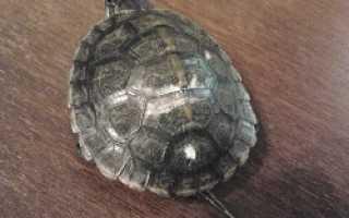 Почему у красноухой черепахи белый панцирь