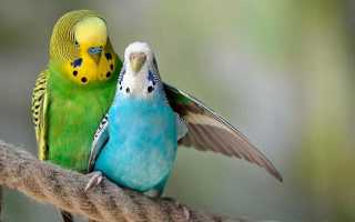 Размножение волнистых попугаев видео