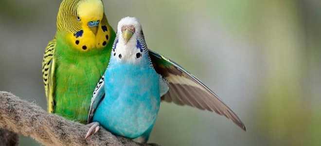 Как размножаются попугаи в клетке при домашних условиях