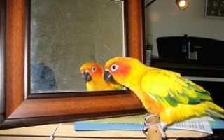 Попугай перед зеркалом