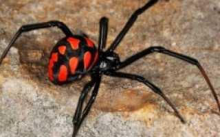 Какие пауки ядовитые в россии