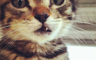 Есть ли молочные зубы у котят или кошек, когда они выпадают