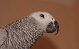 Попугаи жако уход и содержание за птицей в домашних условиях