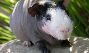 Лысая морская свинка: описание и характеристика, условия содержания и разведение