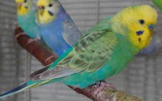 Волнистый попугай возраст