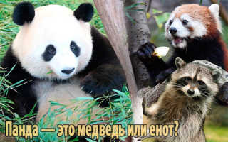 Кто такая панда медведь или енот