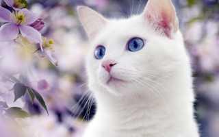 Белый шотландец с голубыми глазами