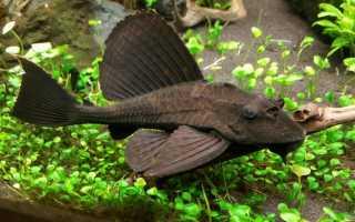 Аквариумные рыбки с усиками