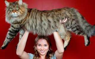 Большие домашние кошки породы фото