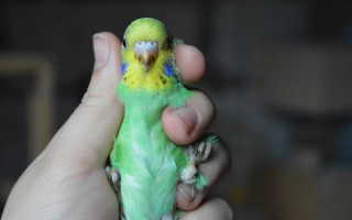 Как определить пол попугайчика