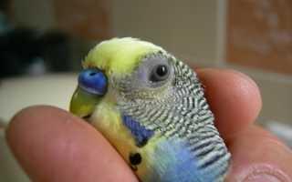 Какие цвета различают попугаи