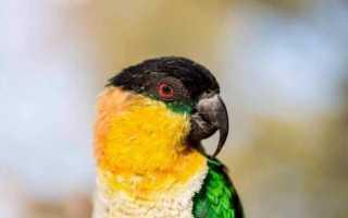 Попугай черноголовый каик — подвиды, уход, содержание в домашних условиях