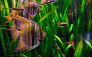Скалярии с другими рыбами