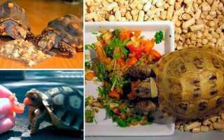 Питание сухопутных черепах в домашних условиях