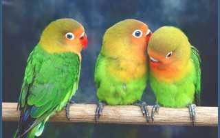 Болезни попугаев симптомы и лечение