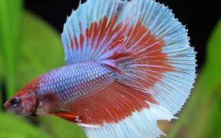 Петушок рыбка уход мини аквариум