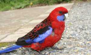 Попугай Розелла уход и содержание в домашних условиях