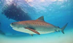 Где живет тигровая акула