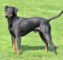 Описание породы собак Манчестер терьер с отзывами и фото