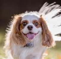 Собака кинг чарльз спаниель фото