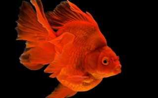 Золотая рыбка риукин фото
