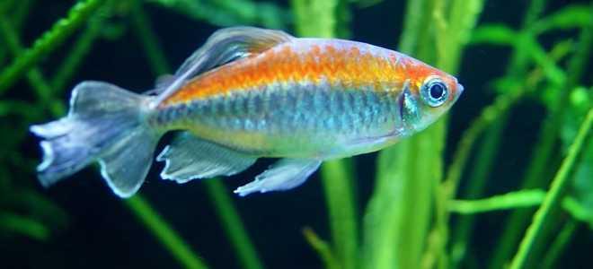 Конго аквариумная рыбка: содержание, фото-видео обзор