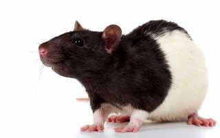 Декоративная крыса самец