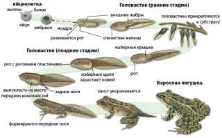 Стадии развития лягушки схема
