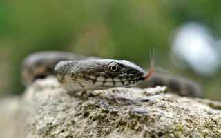 Какие змеи водятся в анапе