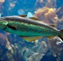 Минтай вид рыбы
