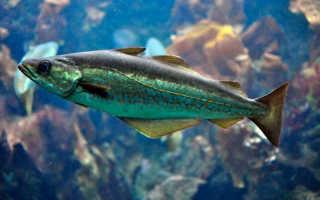 Минтай какой вид рыбы