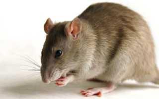 Почему крыса маленькая