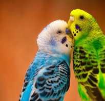 Как определить пол волнистого попугая — мальчик или девочка?