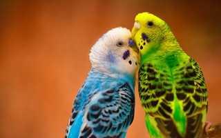 Как узнать попугая
