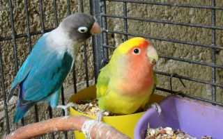 Может ли попугай заразиться от человека простудой