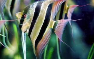 Скалярии рыбки фото