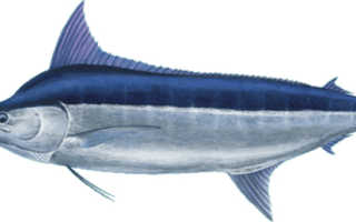 Рыба голубой марлин