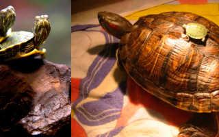 Сколько живет водяная черепаха