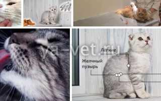 Огуречный цепень у кошек чем лечить
